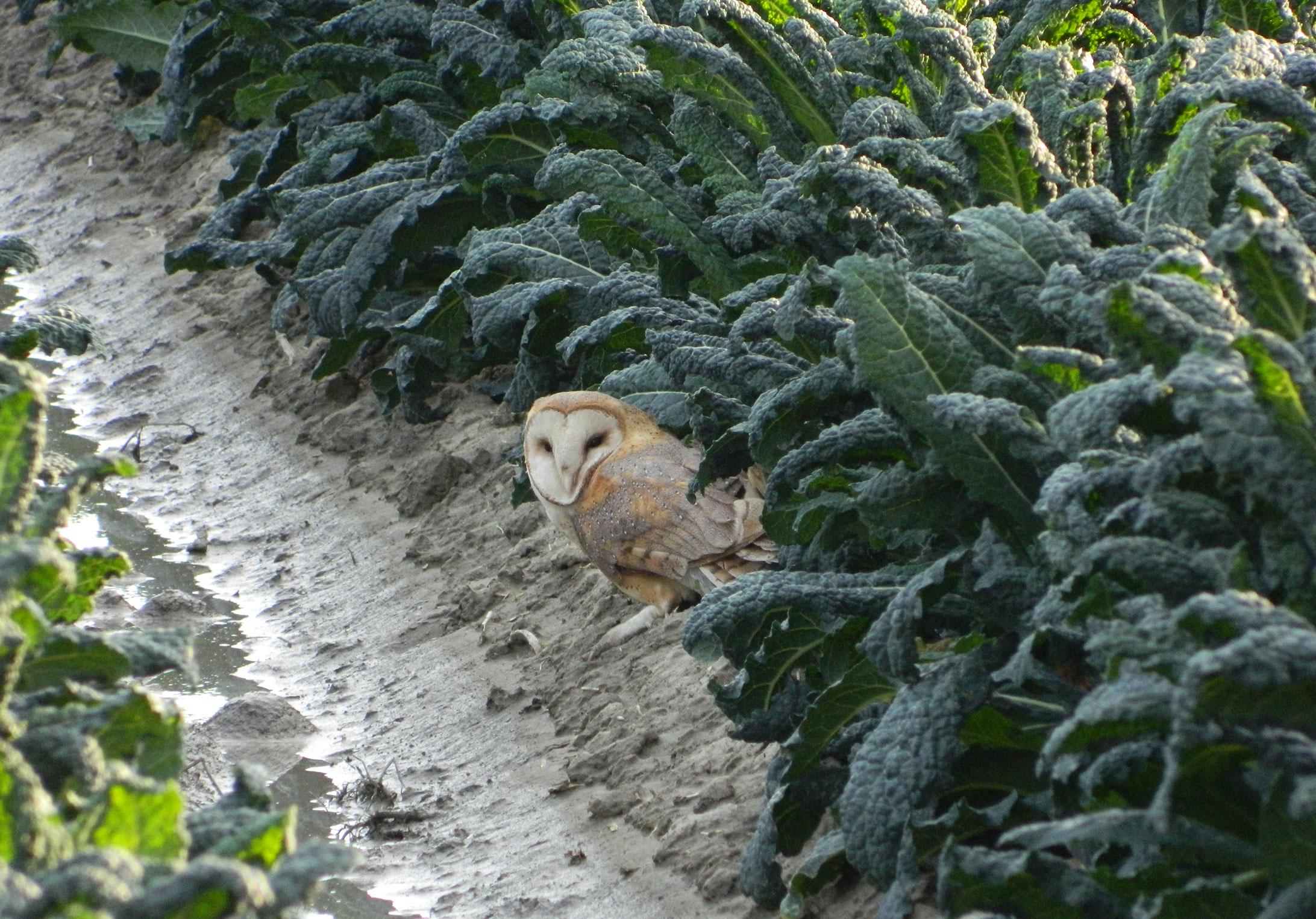 Terranova-Owl-1