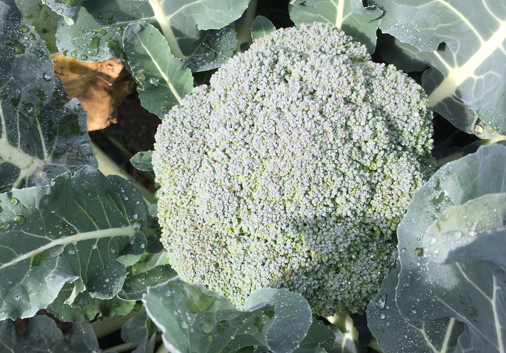 what-we-grow-brocolli