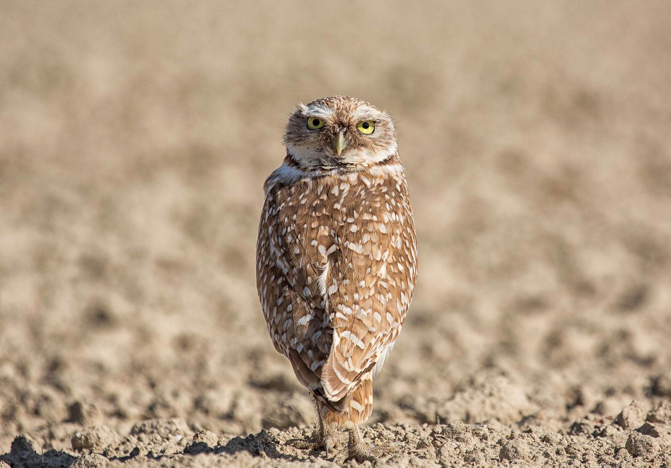 Terranova-Owl-2